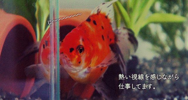 東錦 金魚