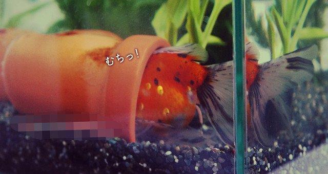 東錦 金魚 寝相